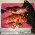 Tikimaniaさんの静岡県でのカサゴの釣果写真