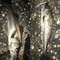 やまさんの千葉県での釣果写真