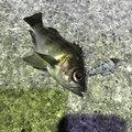 おにぎりはさんの兵庫県での釣果写真