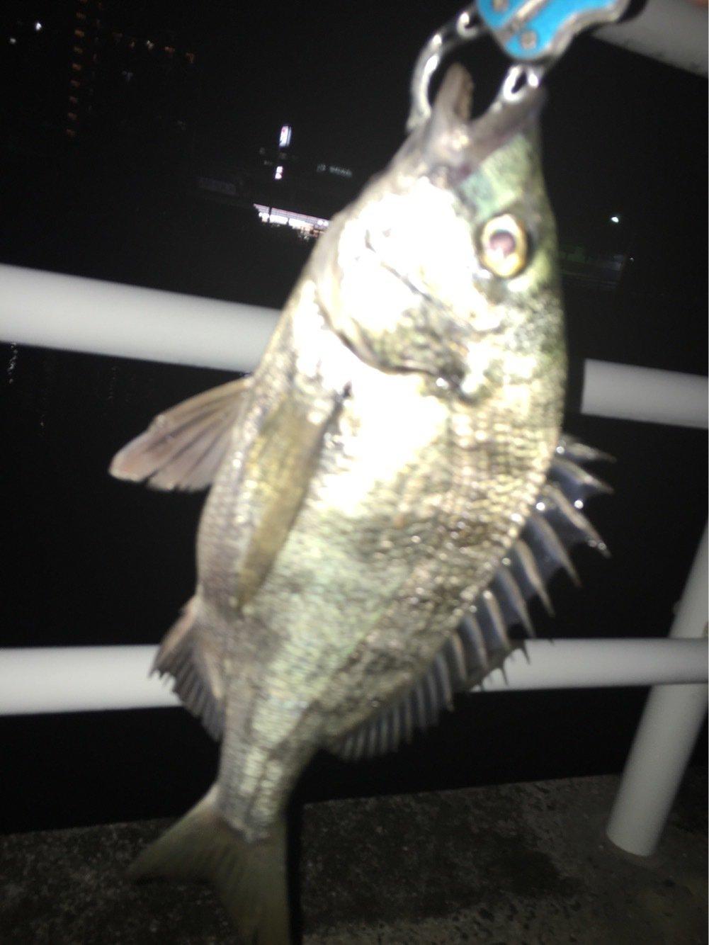 サボテンさんの投稿画像,写っている魚はクロダイ
