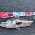 御伽さんの千葉県での釣果写真