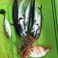 ゴリさんのマサバの釣果写真