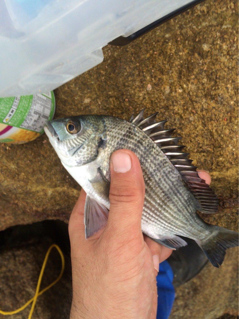 TSさんの投稿画像,写っている魚はクロダイ