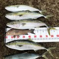 け〜たゴリラさんの鹿児島県いちき串木野市での釣果写真