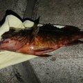 nobuさんの兵庫県での釣果写真