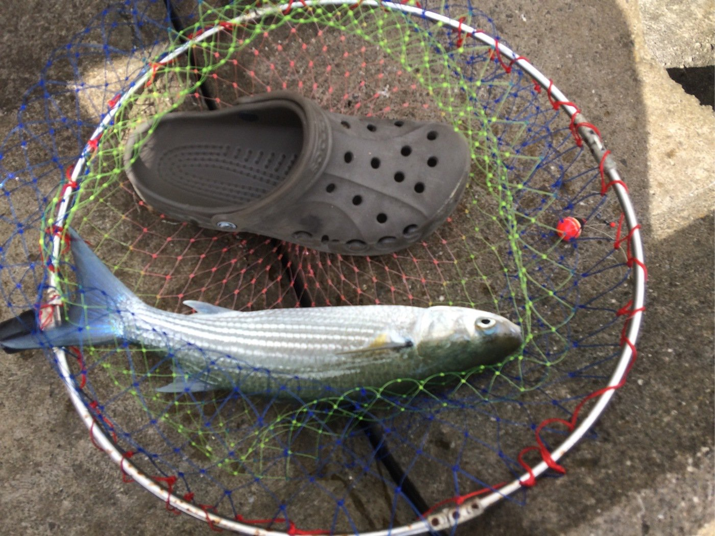 メッカーさんの投稿画像,写っている魚はアオリイカ
