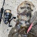 DAIMASさんのアオリイカの釣果写真
