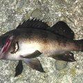 TOMOさんの富山県射水市での釣果写真