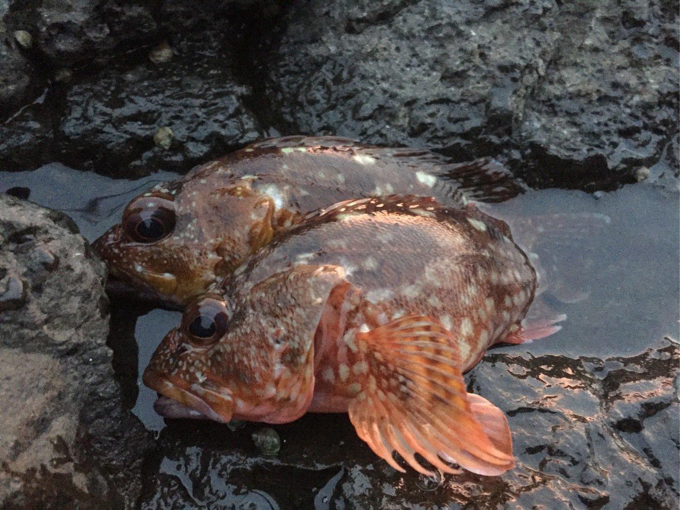 Ryutoさんの投稿画像,写っている魚はカサゴ