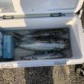 ⚓下越の海賊⚓ ラフィートさんの新潟県北蒲原郡での釣果写真