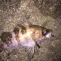 フォール  さんの香川県での釣果写真