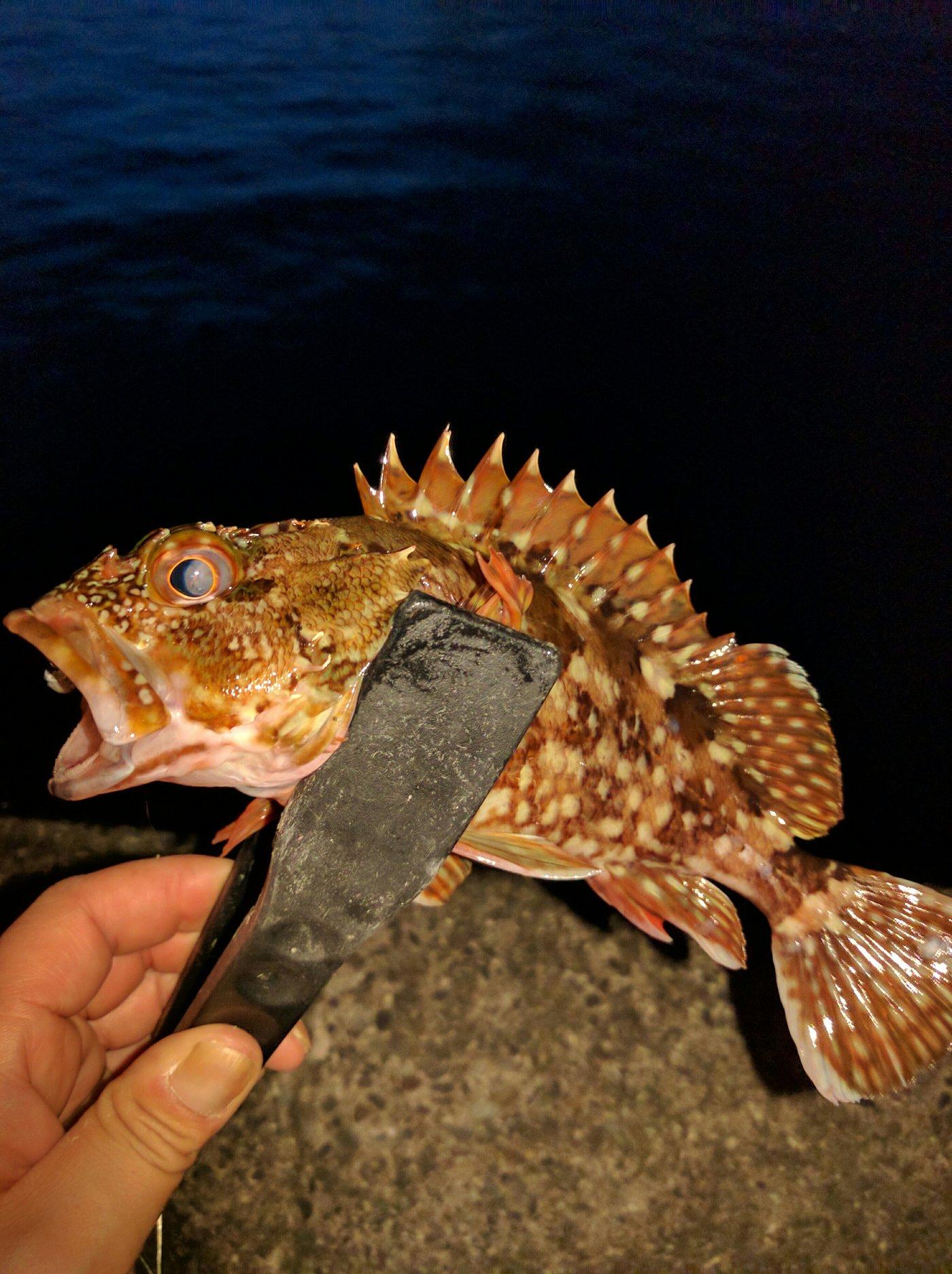 やすさんの投稿画像,写っている魚はカサゴ