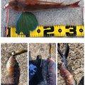 たこたかさんのアカササノハベラの釣果写真