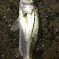 古藤さんの福岡県でのスズキの釣果写真