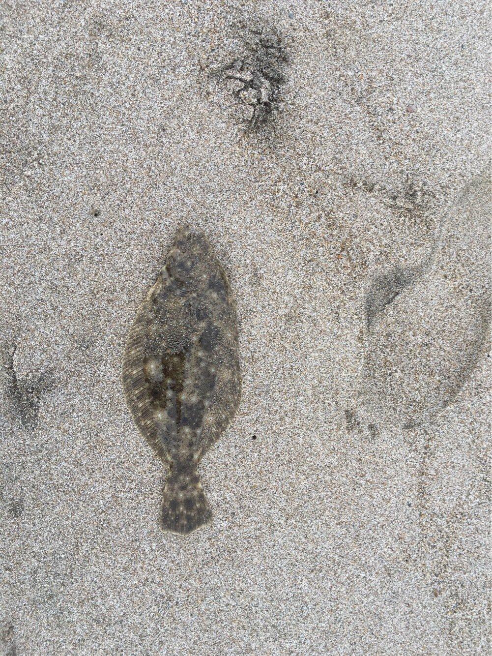 シュウさんの投稿画像,写っている魚はヒラメ