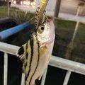 yoshiさんのコトヒキの釣果写真