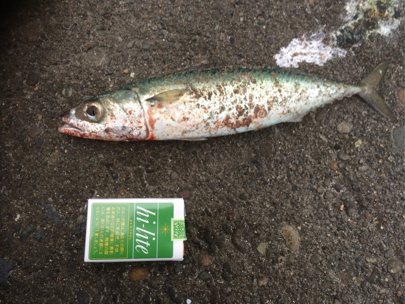 すーさんさんの投稿画像,写っている魚はゴマサバ