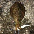 アオリイカ最高さんの徳島県海部郡での釣果写真