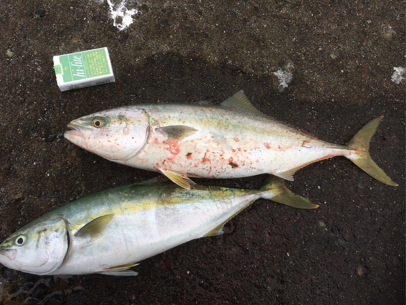すーさんさんの投稿画像,写っている魚はブリ