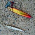 チープさんの福岡県糸島市でのカタクチイワシの釣果写真