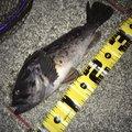 へたっぴ三ちゃんさんの福島県相馬市での釣果写真