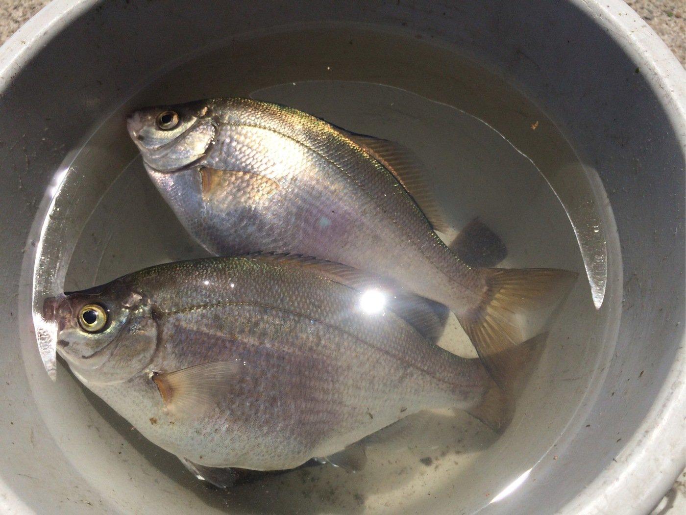 M.Uさんの投稿画像,写っている魚はウミタナゴ