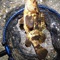 風来のモンドさんのタケノコメバルの釣果写真