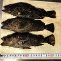 小鉄さんの香川県坂出市でのタケノコメバルの釣果写真