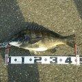 海猫さんの愛知県東海市でのクロダイの釣果写真