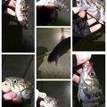 さくらいさんの新潟県北蒲原郡での釣果写真
