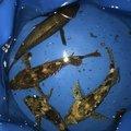 りょさんの神奈川県川崎市でのカサゴの釣果写真