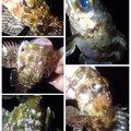 KRO さんの静岡県沼津市でのメバルの釣果写真