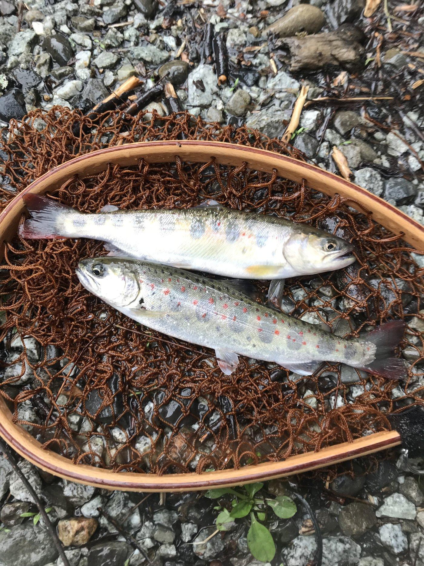 kappatoshiさんの投稿画像,写っている魚はヤマメ