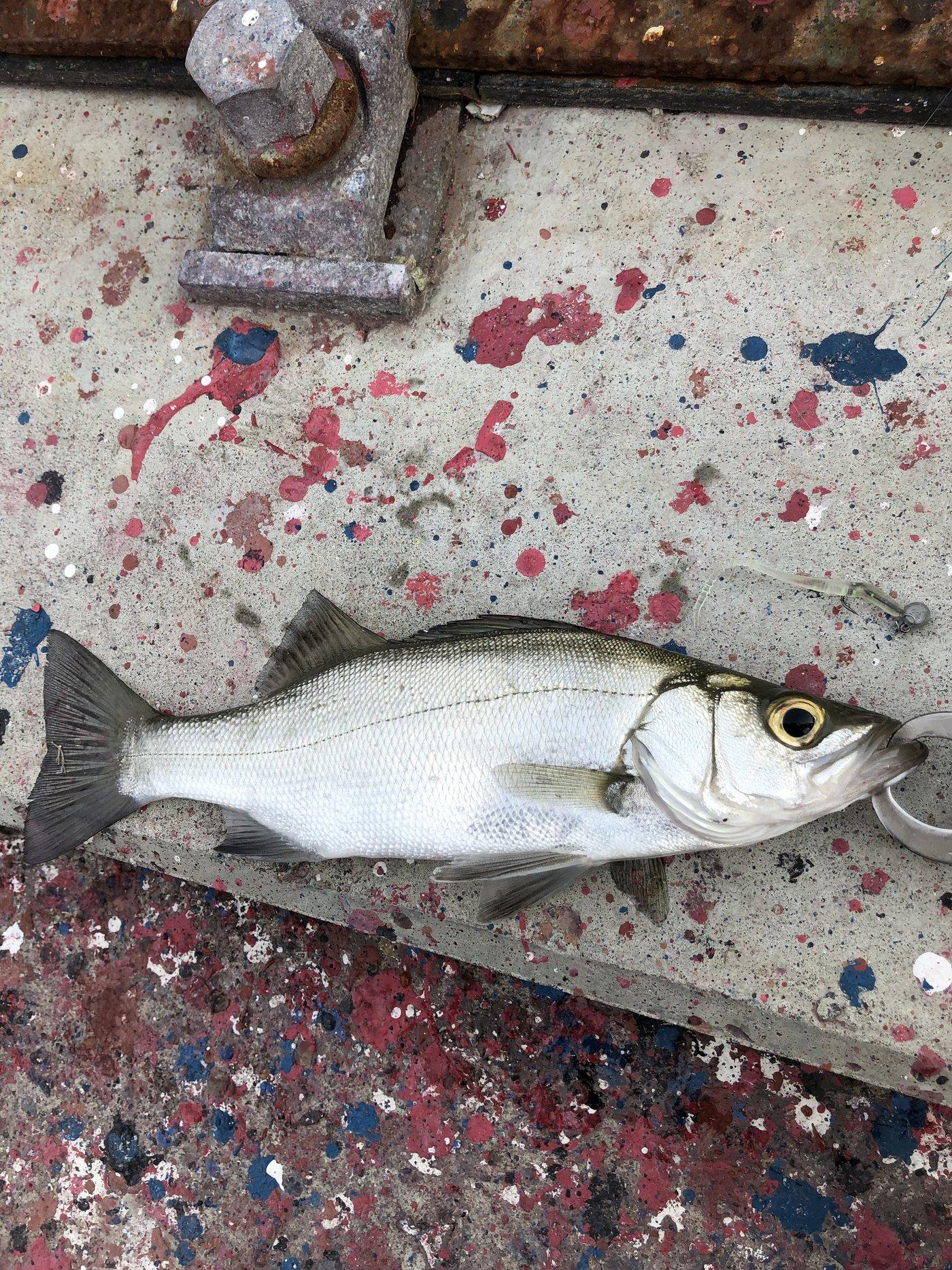 keenさんの投稿画像,写っている魚はスズキ