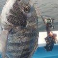 goodloserさんの千葉県安房郡でのクロダイの釣果写真