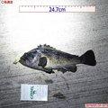 パウリさんの岩手県大船渡市での釣果写真
