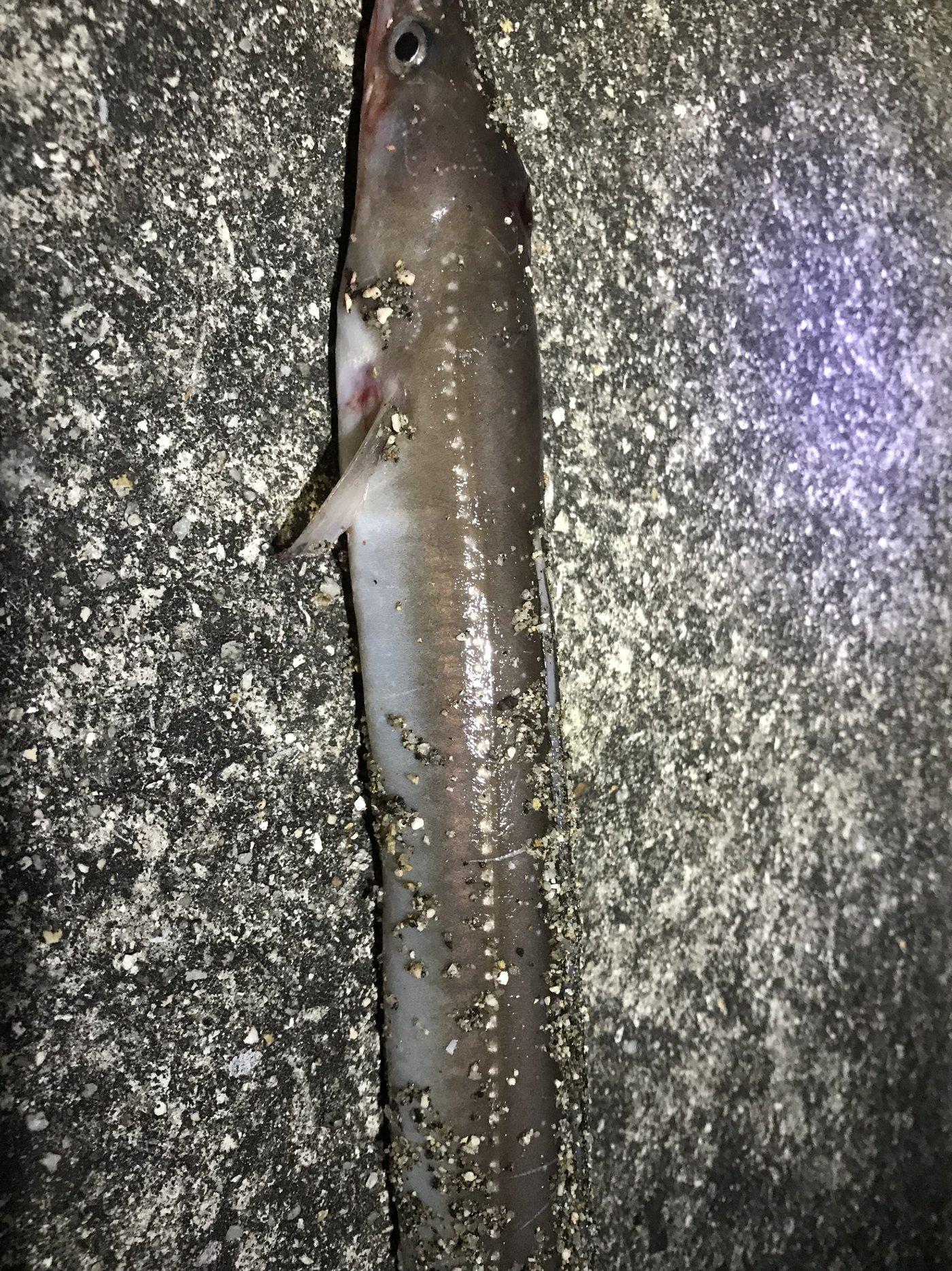 オカラバー12さんの投稿画像,写っている魚はアナゴ
