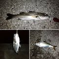 スギぼうずさんの千葉県習志野市での釣果写真