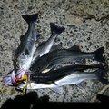 nts44111さんの石川県小松市での釣果写真