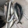 きよしさんの福井県大飯郡での釣果写真