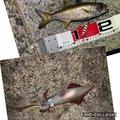 釣りにっく みのさんの長崎県長崎市でのクロムツの釣果写真