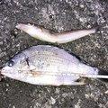 kitat_2345678さんの高知県高知市での釣果写真
