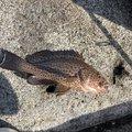 のりきよさんの静岡県賀茂郡での釣果写真