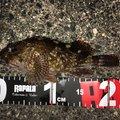 陸軍KO-1さんの三重県四日市市でのカサゴの釣果写真