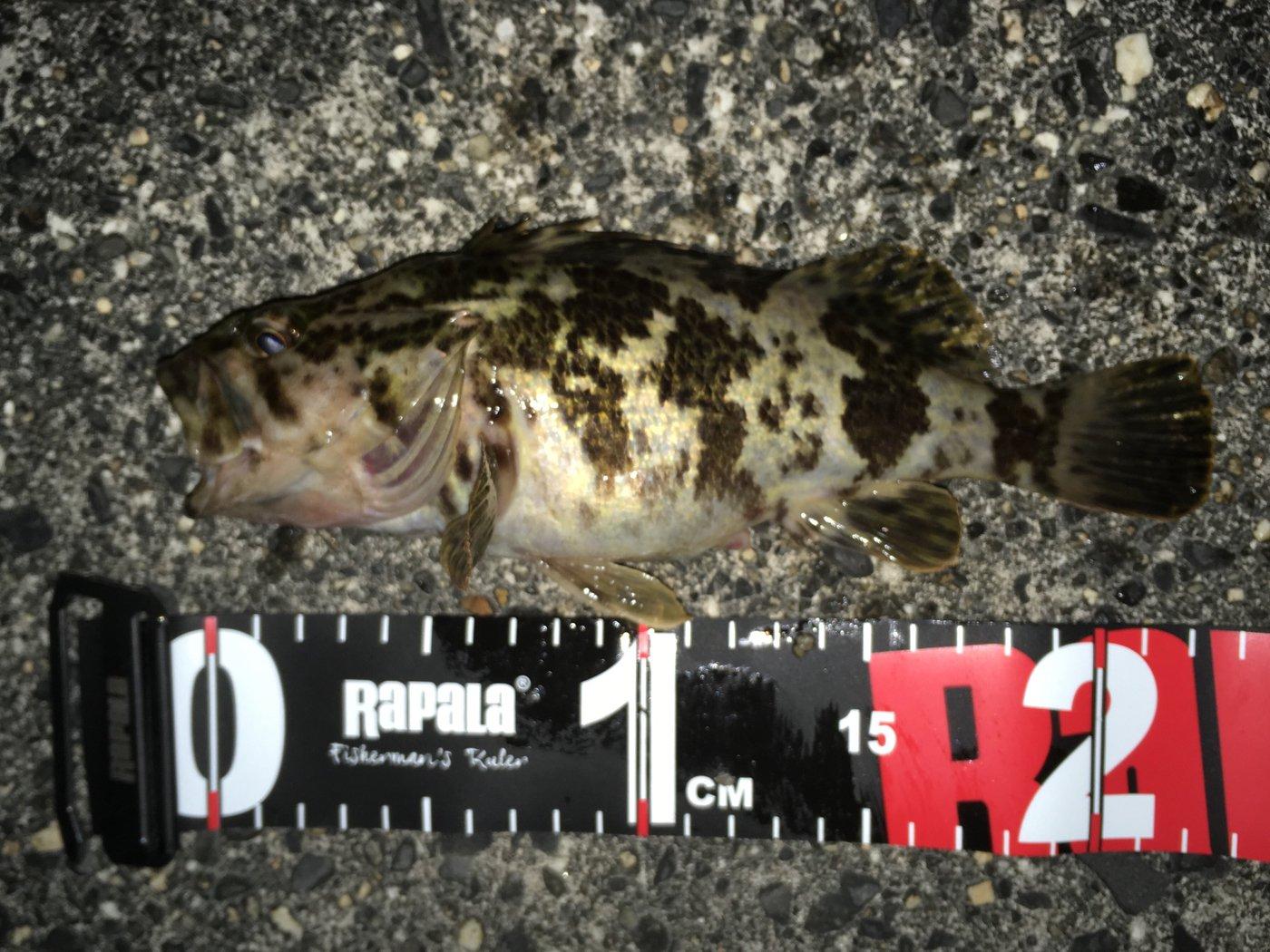 陸軍KO-1さんの投稿画像,写っている魚はタケノコメバル