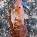 梅宮さんのアカササノハベラの釣果写真