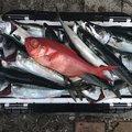 たかえもんさんの東京都東久留米市での釣果写真