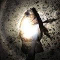 まりもさんのタケノコメバルの釣果写真