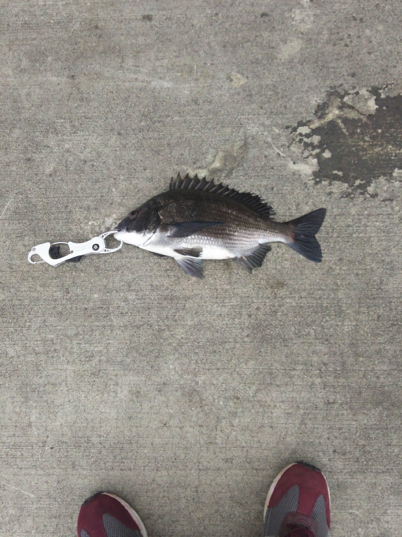 南の黒鯛師さんの投稿画像,写っている魚はクロダイ