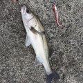 M.KITAZONさんの鹿児島県出水市での釣果写真